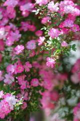花便り - 蓮華薔薇 -