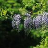 花便り - 森に咲く山藤 -