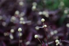 花便り - 赤葉千日紅 -
