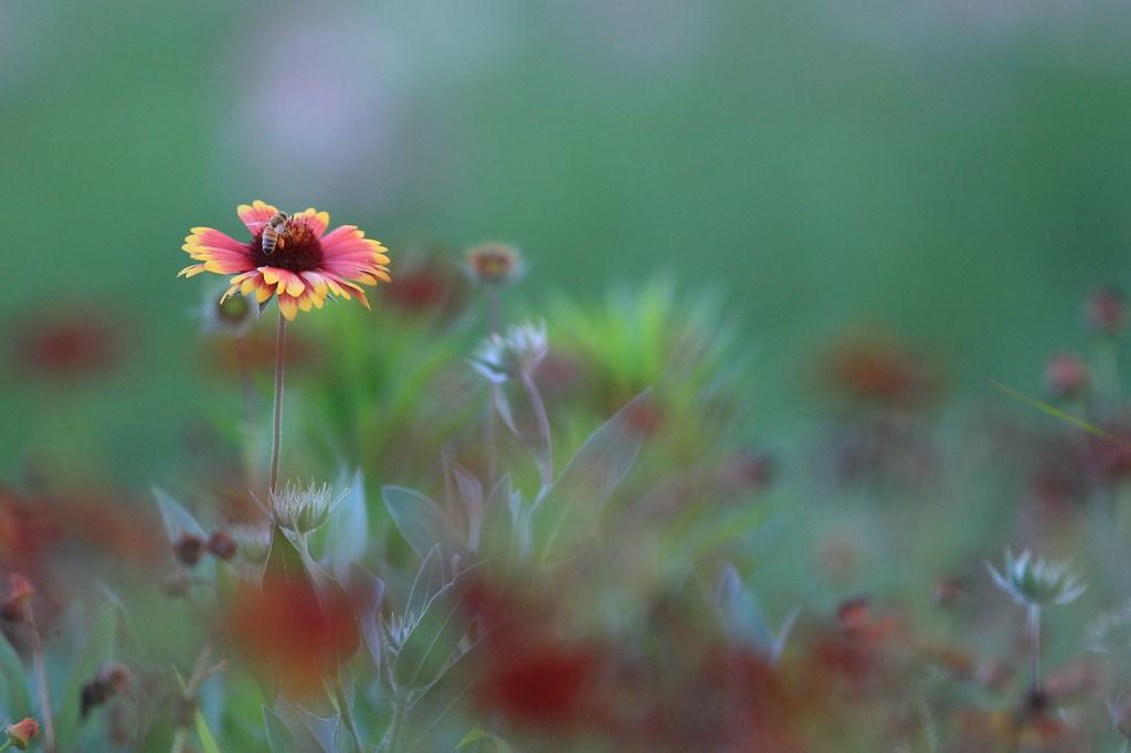 花便り - ルドベキアとミツバチ -