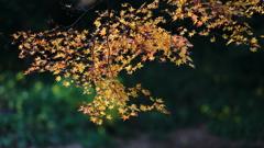 花便り - 黄葉と黄花の秋競演 -