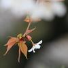 花便り - 山桜一花 -