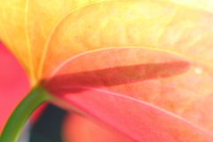 花便り - 透過した大紅団扇 -