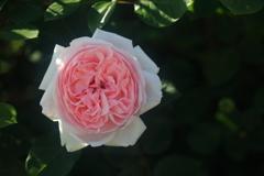 花便り - 魅惑のクォーターロゼット咲き -