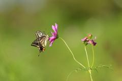 生き物写真館 - 揚羽と秋桜 -
