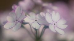 花便り - 笹鳴 -