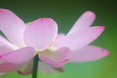 花便り - ときめきの大賀蓮 -