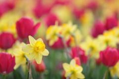 花便り - チューリップ花壇の水仙 -