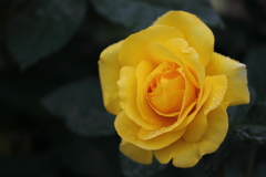 花便り - そぼ降る雨の薔薇園にて -