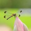 生き物写真館 - 蓮蜻蛉 -