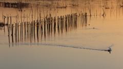 印旛沼・朝景 - 黄金色の光に満ちて -