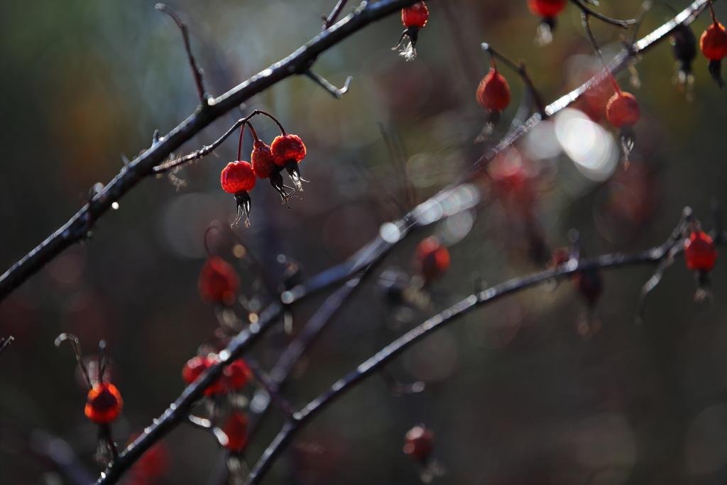 花便り - ローズヒップの輝き -