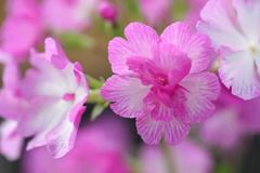 花便り - 磯牡丹 -