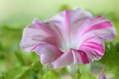 花便り - 朝顔・栄冠 -
