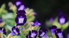 花便り - 魅惑の青紫 -