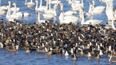 白鳥の郷 - 鴨の流れ -