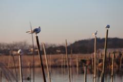 印旛沼・水鳥 - 百合鴎たちの寛ぎ -