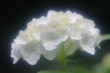 花便り - 水無月の白い妖精 -