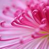 花便り - 菊パワー -