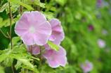 花便り - グリーンカーテンの花王 -