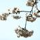 花便り - 白日の染井 -