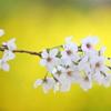 花便り - 黄衣の染井吉野 -