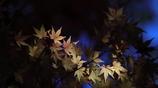 花便り - 愁いの黄葉もみじ -
