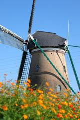 印旛沼・風車 - キバナコスモスの咲く頃 -