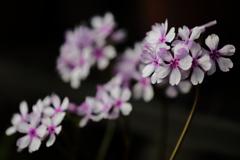花便り - 蛇の目傘 -