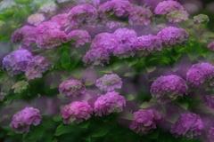 花便り - 多重紫陽花 -