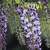 花便り - たおやかな青紫 -