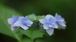 花便り - ターコイズブルーの彩り -