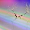 花便り - 虹に乗った綿毛 -