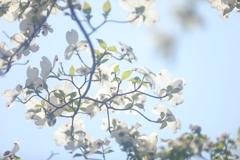 花便り - 透過した白と緑 -