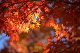 花便り - 華やぐ秋楓 -
