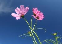 CANON Canon EOS 5D Mark IVで撮影した(花便り - 待ちわびた青空と秋桜 -)の写真(画像)