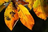 花便り - 透過した黄葉 -