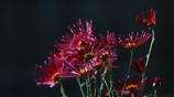 花便り - 肥後の伝統 -