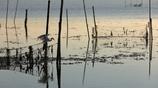 生き物写真館 - 鷺の朝狩り -