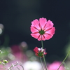 花便り - 影姿の秋桜 -