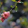 花便り - 木瓜とBokeh -