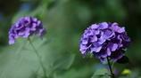 花便り - 菫色の紫陽花 -