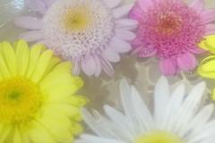 花便り - 水盤の丁子菊 -