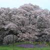 花便り - 孤高の大桜 -