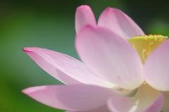花便り - 蓮の園 -