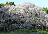 CANON Canon EOS 5D Mark IVで撮影した(花便り - 孤高の大桜 2017 -)の写真(画像)
