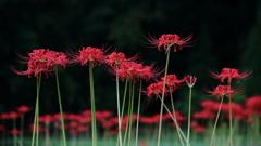 花便り - 古寺の彼岸花 -