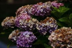 花便り - 寂寞の紫陽花 -