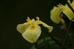花便り - 漆黒の黄花菖蒲 -