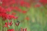 生き物写真館 - 蜻蛉と彼岸花 -